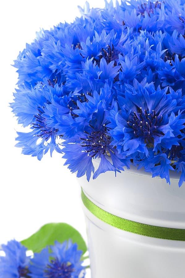 Bei fiori blu vivi di fiordaliso. fotografia stock