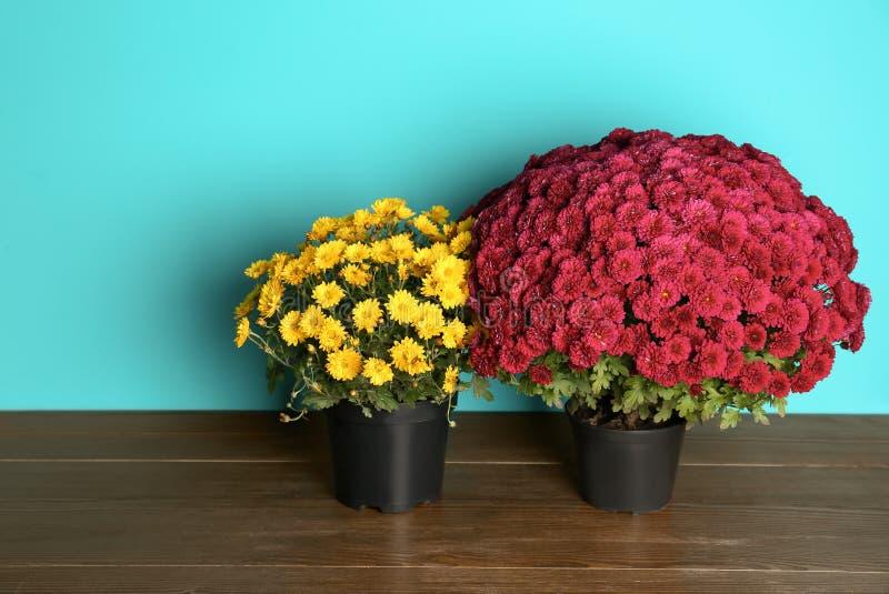 Bei fiori conservati in vaso del crisantemo sulla tavola fotografie stock libere da diritti