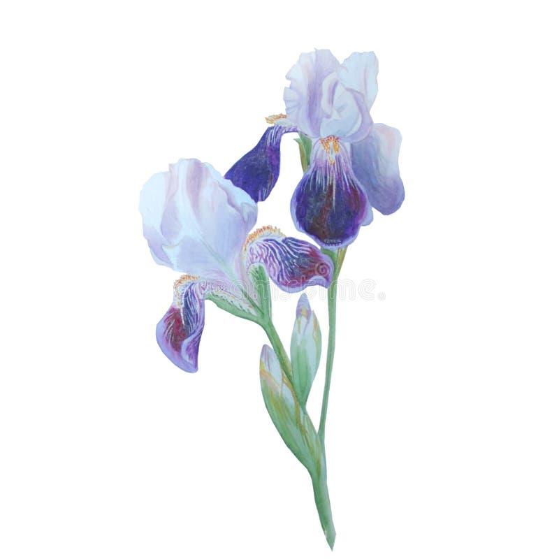 Bei fiori del blu dell'acquerello Fiore dell'iride isolato su bianco royalty illustrazione gratis