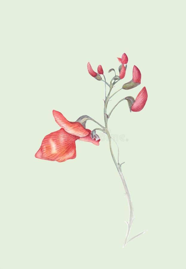 Bei fiori del coccineus di Bean Plant Phaseolus del corridore Illustrazione dell'acquerello isolata su fondo verde chiaro illustrazione vettoriale