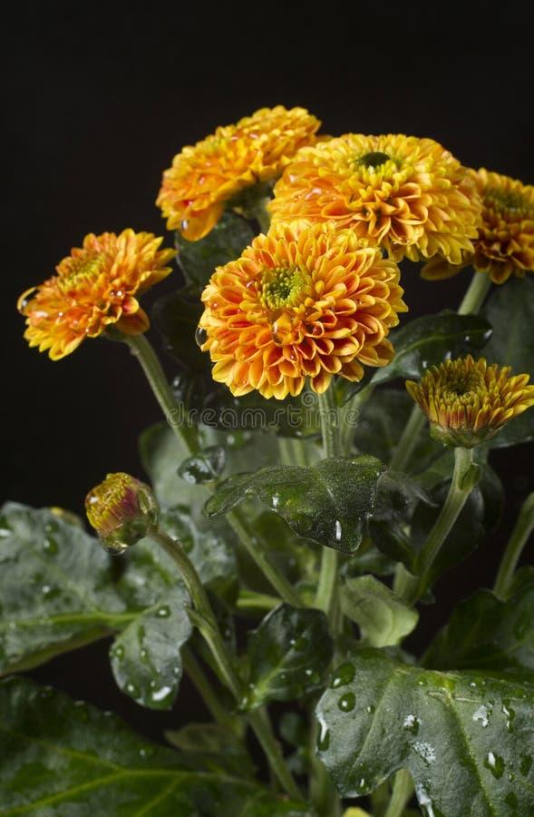 Bei fiori del crisantemo con le gocce di acqua immagine stock