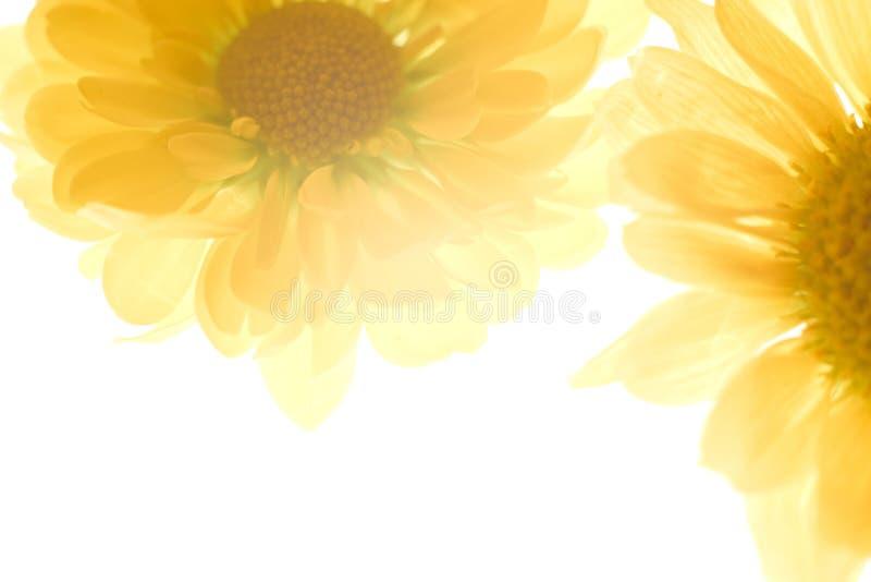 Bei fiori del crisantemo della sorgente fotografie stock libere da diritti