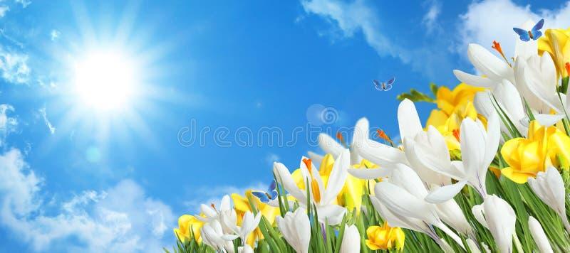 Bei fiori del croco della molla e farfalle volanti fotografie stock