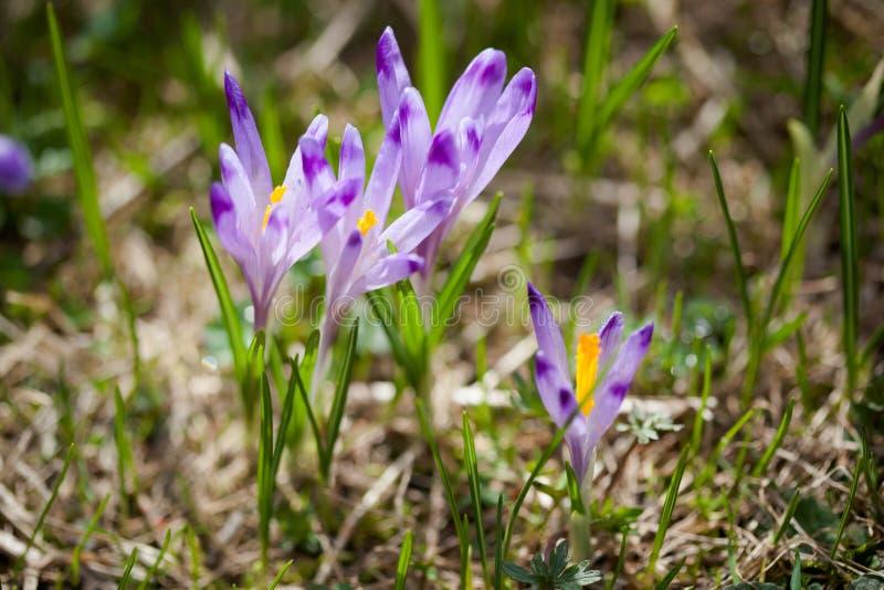 Download Bei Fiori Del Croco In Montagne Di Tatry Fotografia Stock - Immagine di poland, fioritura: 30826648