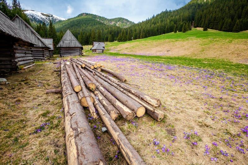 Download Bei Fiori Del Croco In Tatry Fotografia Stock - Immagine di fioritura, bello: 30827718