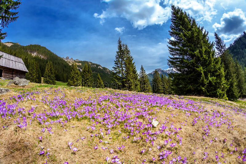 Download Bei Fiori Del Croco In Tatry Fotografia Stock - Immagine di viola, europa: 30827770