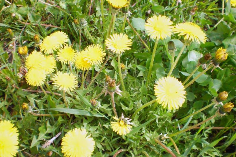 Bei fiori del dente di leone, wildflowers gialli, vegetazione, fiori della molla fotografia stock libera da diritti