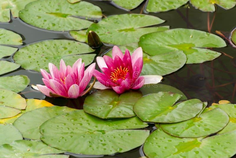 Bei fiori del fiore della ninfea o del loto nello stagno immagini stock libere da diritti