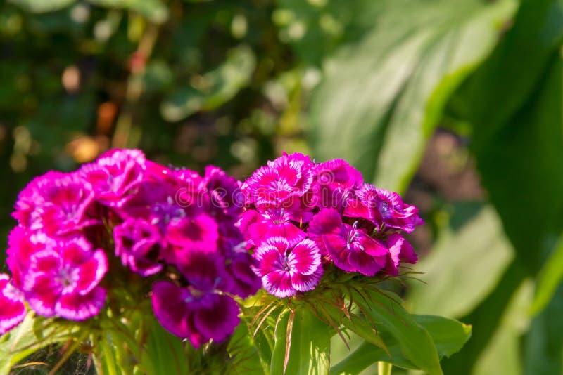 Bei fiori del garofano turco nel giardino soleggiato di estate fotografia stock libera da diritti
