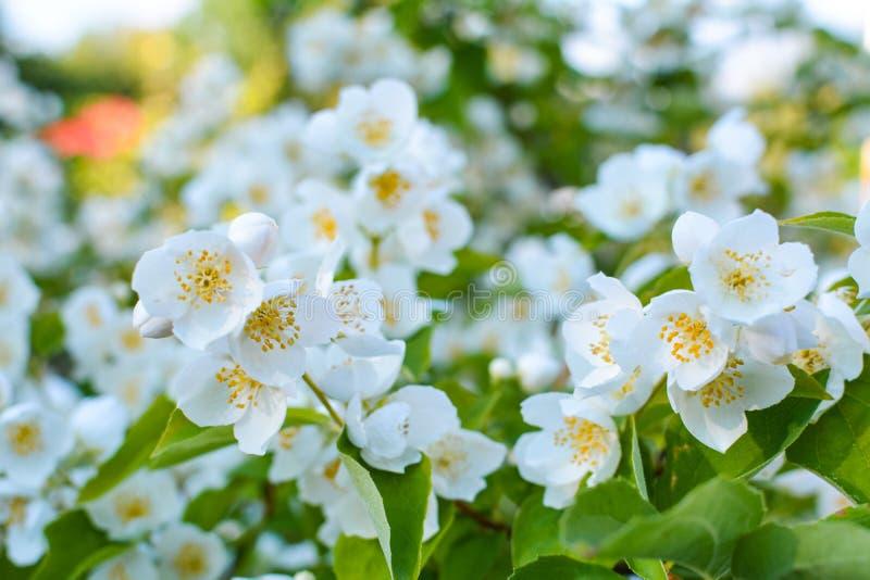Bei fiori del gelsomino su un fondo verde fotografia stock libera da diritti