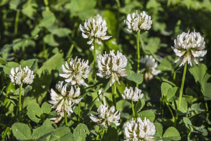 Bei fiori del trifoglio bianco sui precedenti delle foglie e dell'erba verde con le gocce di acqua nel parco di estate dopo piogg fotografia stock