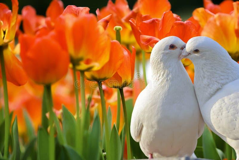 Bei fiori del tulipano in giardino fotografia stock