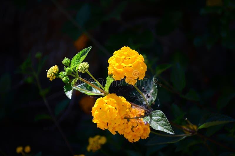 Bei fiori delicati della lantana sulla costa Mediterranea in Turchia immagini stock libere da diritti