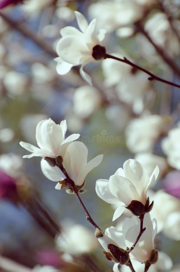Bei fiori dell'albero della magnolia nella primavera Fiore bianco della magnolia di Jentle contro la luce di tramonto immagini stock libere da diritti