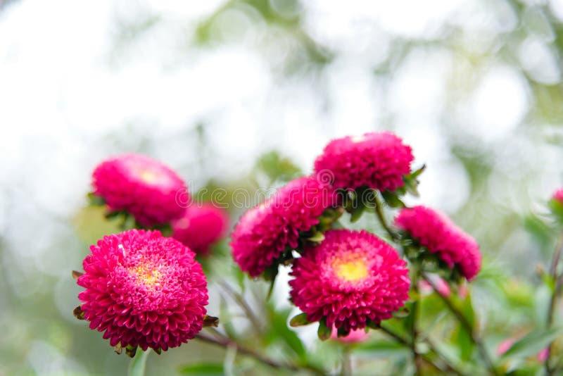 Bei fiori dell'aster sul giardino di caduta fotografia stock libera da diritti
