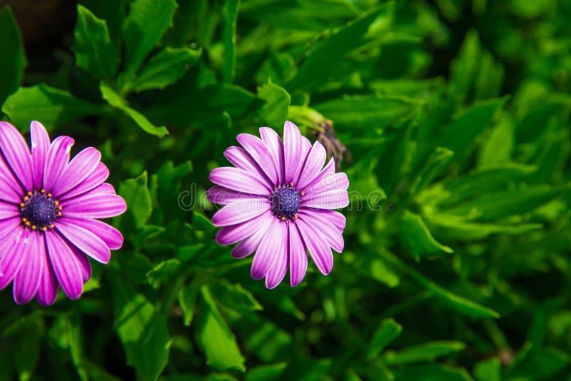 Bei fiori della margherita africana sui cespugli piante insolitamente belle Fiori di Purples di colori rosa fotografia stock libera da diritti