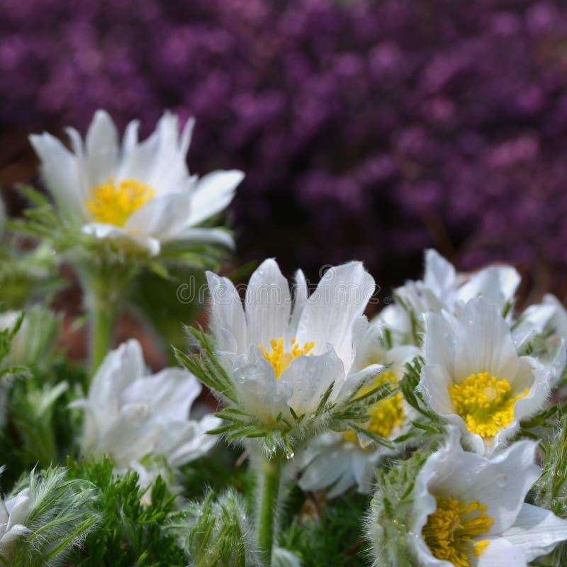 Bei fiori della molla, pulsatilla fotografia stock