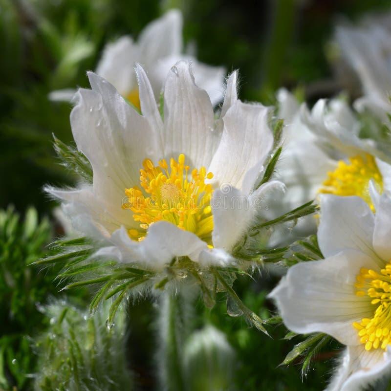 Bei fiori della molla, pulsatilla fotografie stock libere da diritti