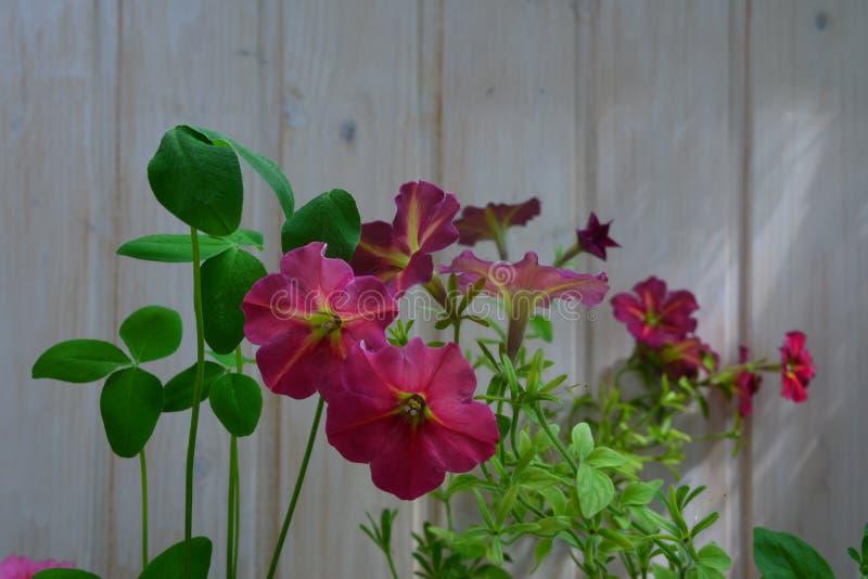 Bei fiori della petunia e foglie del trifoglio sui precedenti della parete di legno Inverdimento del balcone fotografia stock libera da diritti