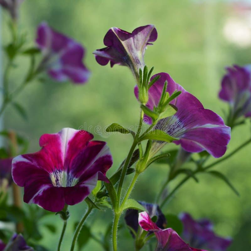 Bei fiori della petunia Piante di fioritura nell'inverdimento del balcone fotografie stock libere da diritti