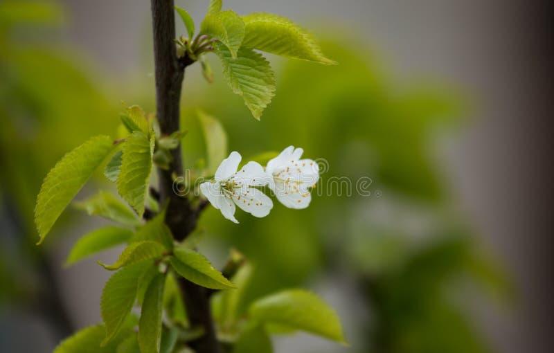 Bei fiori della prugna su uno sfondo naturale immagine stock libera da diritti
