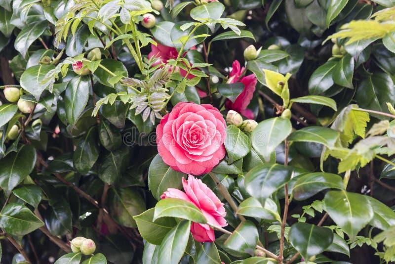 Bei fiori della rosa di rosa immagini stock
