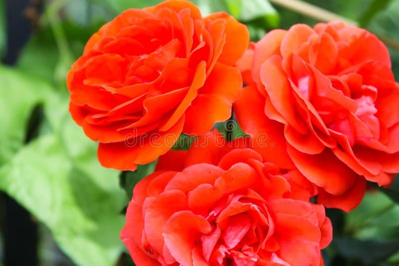 Bei fiori della rosa rossa dello sfondo naturale su Bush verde immagine stock