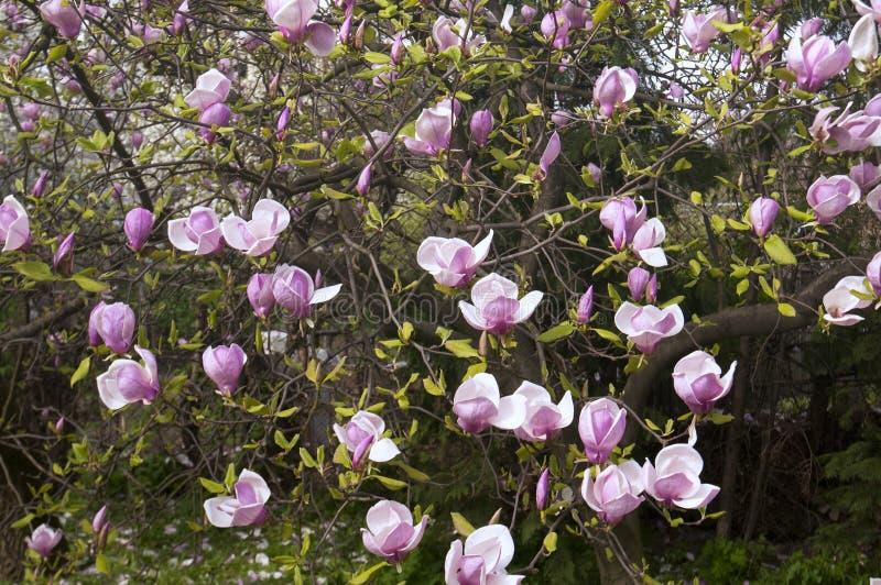Bei fiori dentellare della magnolia immagine stock