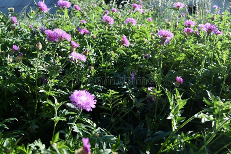 Download Bei Fiori Dentellare Nel Giardino Fotografia Stock - Immagine di fresco, giardino: 117979388