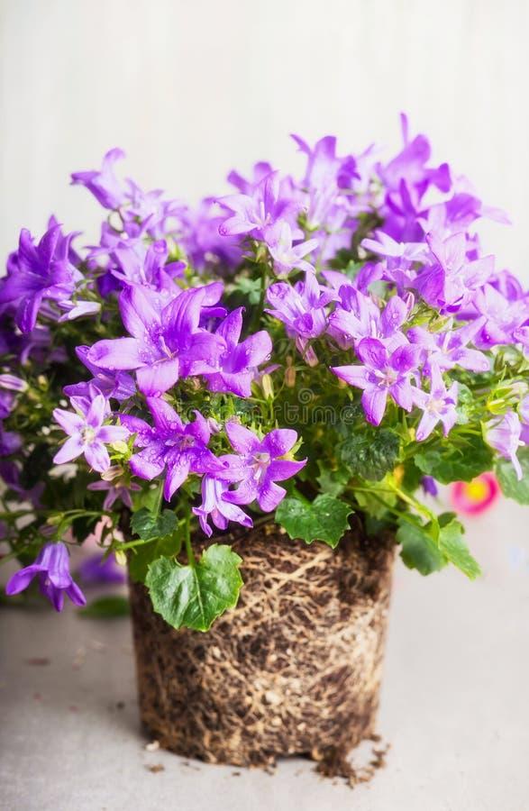 Bei fiori di Bell con la radice per i trapianti nel letto di fiore immagini stock