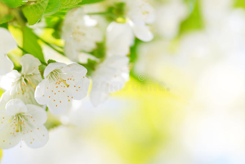 Bei fiori di ciliegia fotografia stock libera da diritti