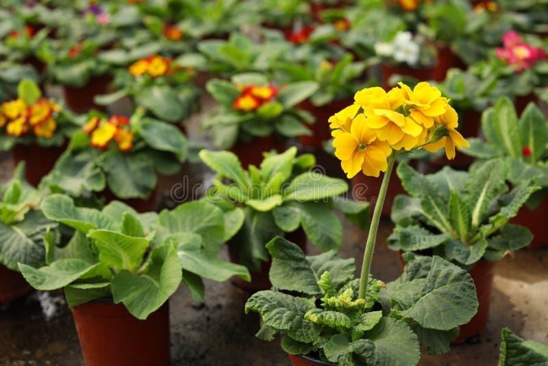 Bei fiori di fioritura del vaso in serra Spazio per testo fotografia stock