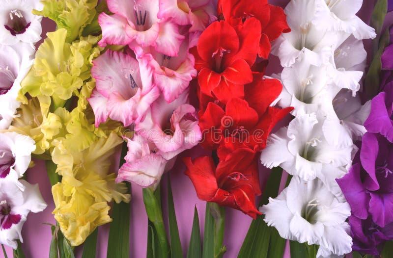 Bei fiori di gladiolo su fondo rosa d'avanguardia fotografia stock