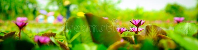 Bei fiori di loto e foglie rosa del loto sul footag dello stagno immagine stock libera da diritti