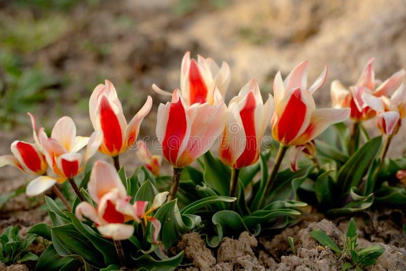 Bei fiori di rosso con il giardino bianco dei tulipani in primavera fotografia stock libera da diritti