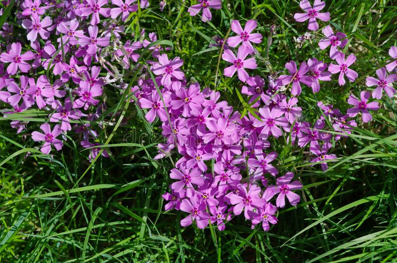 Bei fiori di subulata del flox fotografie stock