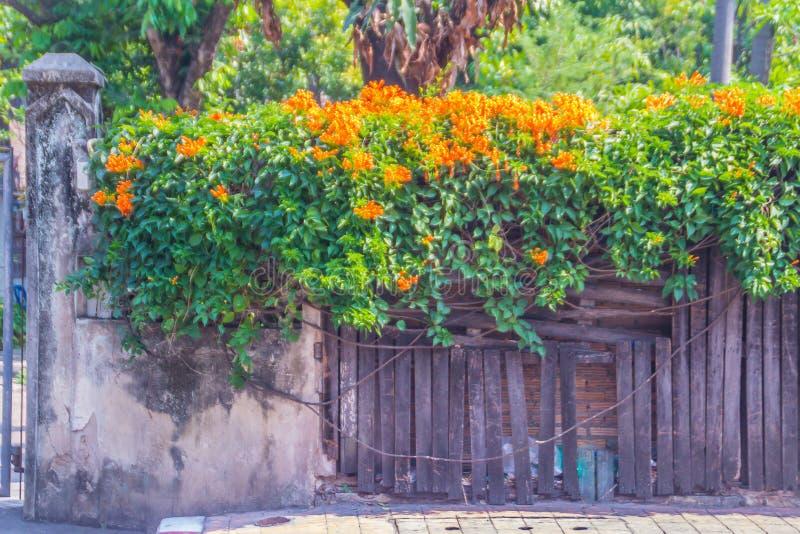 Bei fiori di tromba arancio (venusta di Pyrostegia) che fioriscono sul vecchio fondo del recinto Venusta di Pyrostegia anche cono fotografia stock libera da diritti