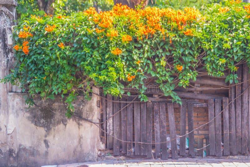 Bei fiori di tromba arancio (venusta di Pyrostegia) che fioriscono sul vecchio fondo del recinto Venusta di Pyrostegia anche cono fotografia stock