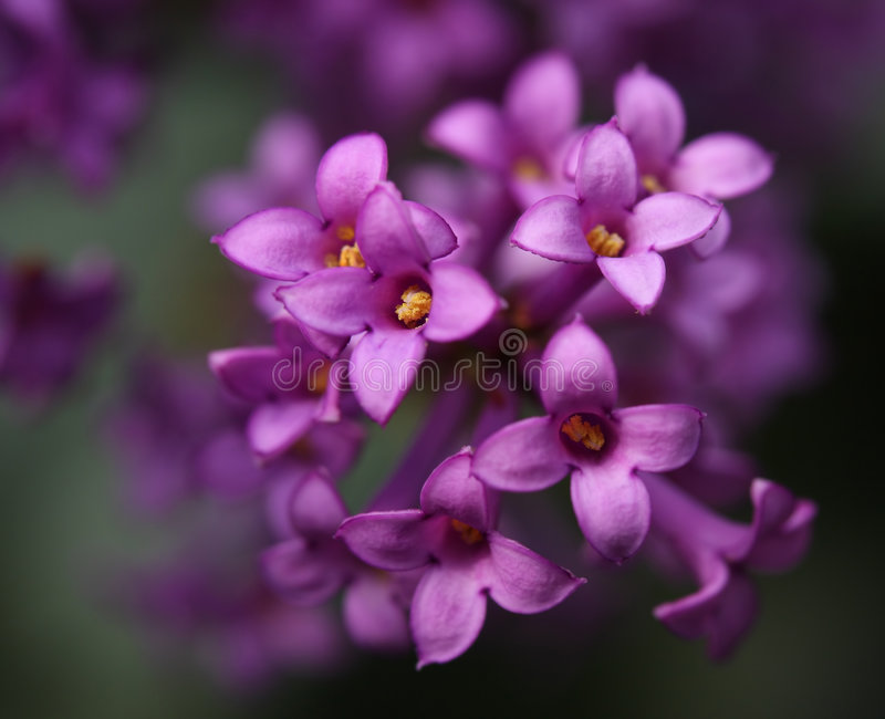 Bei fiori di un lillà fotografie stock libere da diritti