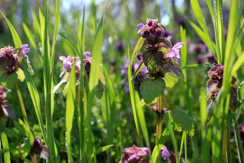 Bei fiori e foglie verdi e gambi porpora al sole immagini stock libere da diritti