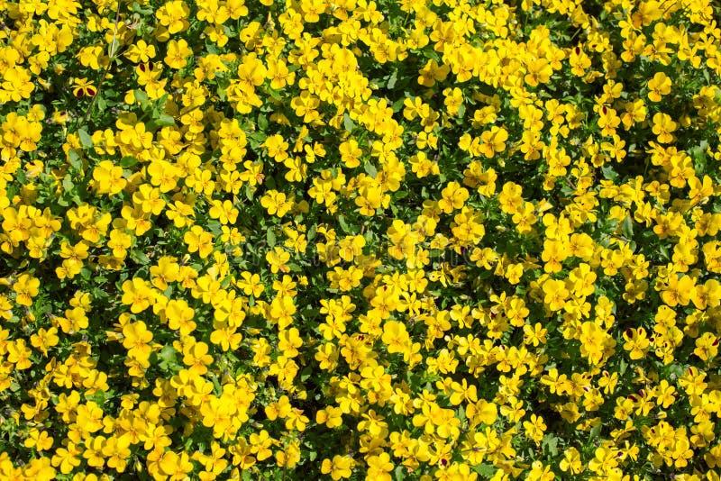 Bei fiori gialli che sbocciano in primavera immagine stock for Fiori che sbocciano
