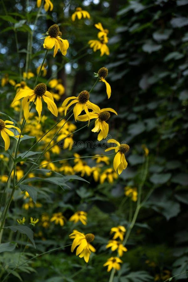 Bei fiori gialli con bokeh colorato nel giardino di estate esterno immagine stock libera da diritti
