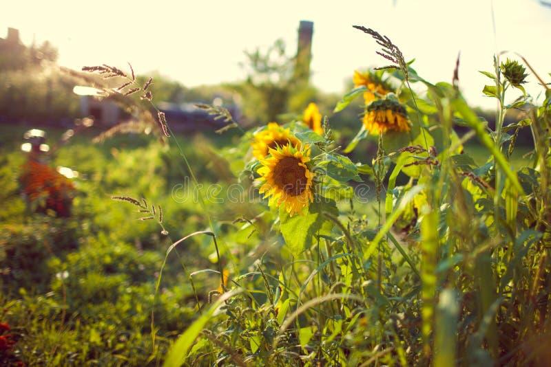 Bei fiori gialli del girasole con il fuoco molle e l'umore caldo immagini stock