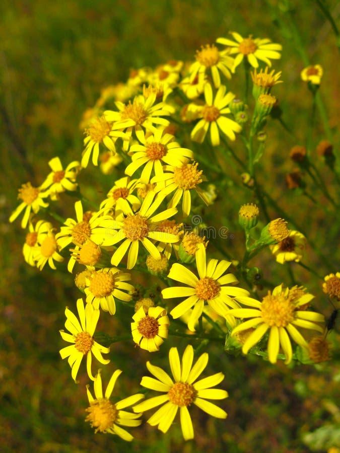 Bei fiori gialli del mosto di malto di St John immagini stock libere da diritti