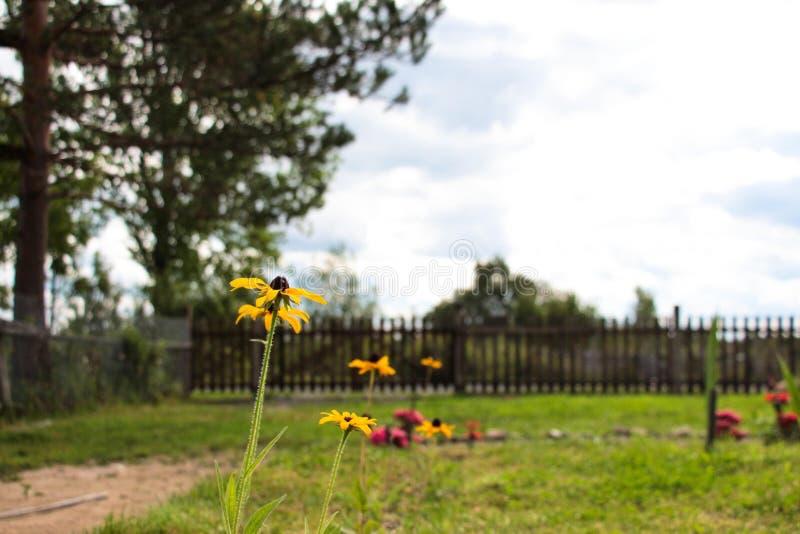 Bei fiori gialli su un prato inglese nel cortile di una casa rurale, contro il cielo e la recinzione fotografia stock
