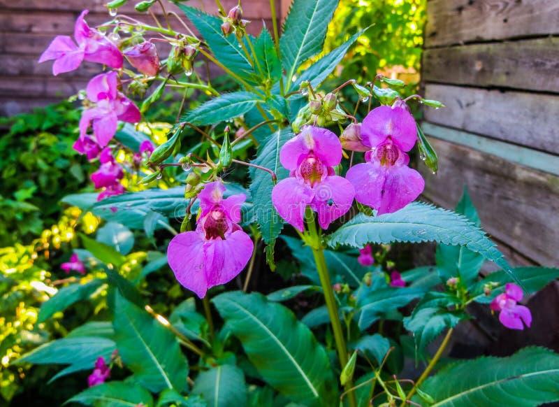 Bei fiori lilla del balsamo della foresta verso la metà di estate fotografia stock