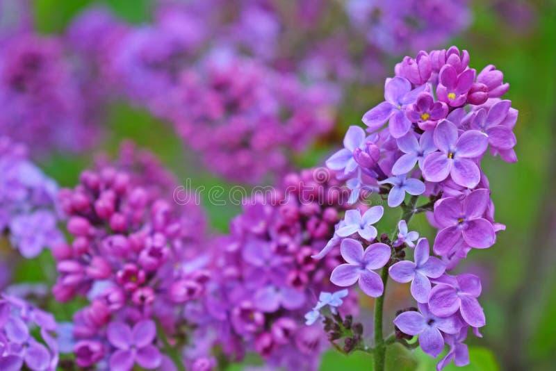 Bei fiori lilla porpora immagine stock libera da diritti