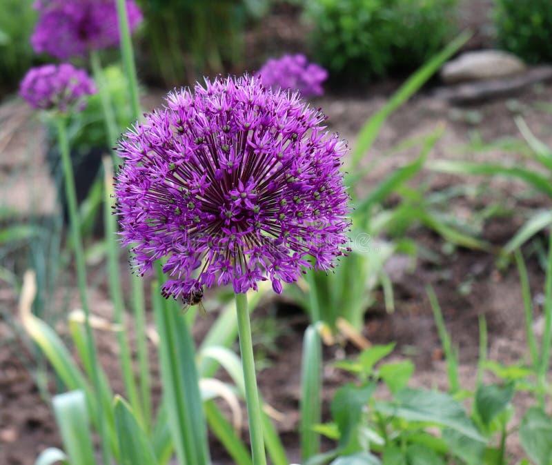 Bei fiori porpora del aflatunense dell'allium un giorno soleggiato luminoso nel giardino organico Erbe fresche della cucina Alime fotografie stock libere da diritti