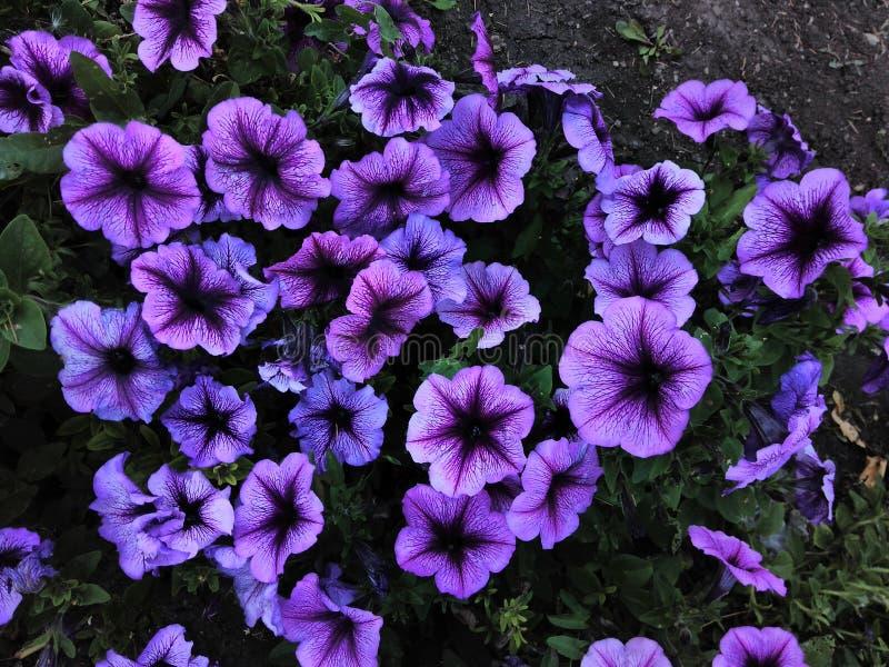 Bei fiori porpora del giardino della petunia fotografie stock libere da diritti