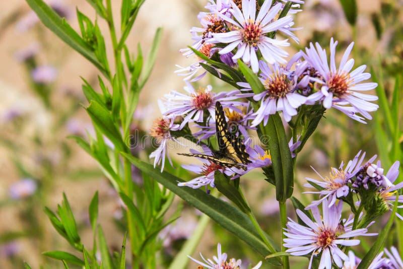 Bei fiori porpora, farfalla gialla Fine in su immagine stock